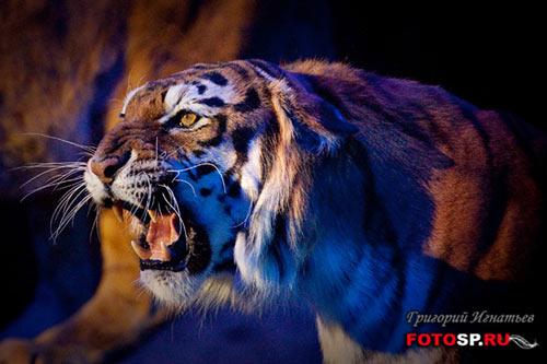 Тигр - фотограф Григорий Игнатьев