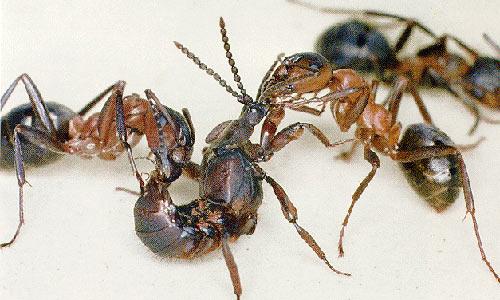Лесные муравьи в поисках украденного капиталистами потомства