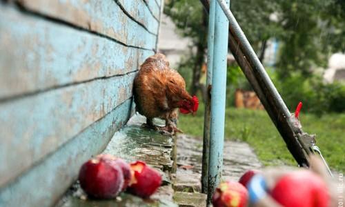 Мокрая курица в августе под лестницей.