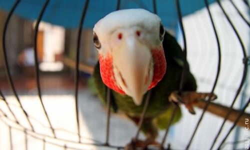 Попугай — гроза Карибских морей.